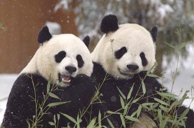 2 Pandas Jessie Cohen